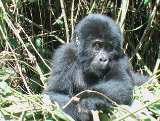 Gorilla-Baby  high up in the Mountains of Magahinga Park