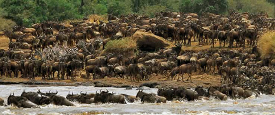 Gnus crossing the Mara River during Migration