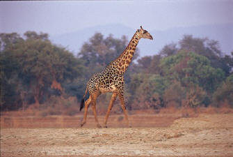 Thornicrofts Giraffe at South Luangwa National Park
