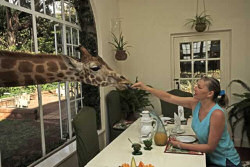 Expect a Giraffe to Visit You During Morning Tea at the Giraffe Manor Lodge