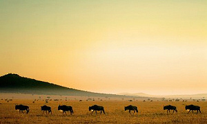 Herds of wildebeasts passing the Mara Porini Camp in the evening sun