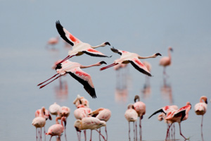 Every night thousands of flamingos fly over the camp to feed and breed at Lake Natron