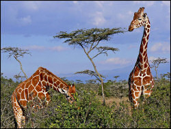 Rothschild-Giraffes at Sweetwaters