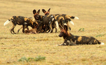 Pack of African Wild Dogs - Photo taken by Kai Keller